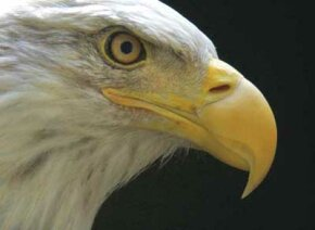 Bald eagles are among the birds of prey cared for at the VINS Nature Center.