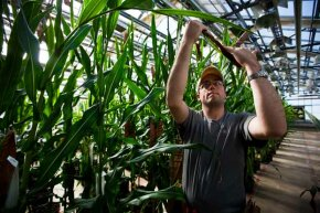 Plant specialist Dustin McMahon hand-pollinates genetically modified corn plants inside greenhouses located on the roof of Monsanto agribusiness headquarters in St Louis, Mo., 2009.