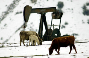 Some animals, like the cattle here, don't even seem to notice the oil rigs.