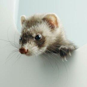 A ferret (Mustela putorius furo).