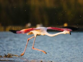 A flamingo gets ready for takeoff.