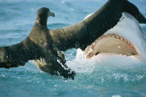 Fish and other animals can attract sharks through movement on the surface of the water. Here, an albatross is attacked by a reef shark. See more pictures of sharks.