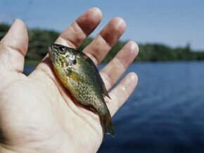 Overpopulated habitats can lead to panfish stunting that inhibits their growth.