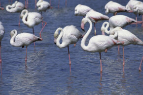 A flock of flamingos relax by standing on one leg. See more pictures of birds.