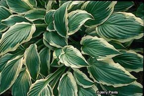 Hosta fortunei has dimension and color with                              its dark green leaves edged in white.