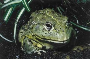 This African pyxie frog (Pyxicephalus adspersa) has bumpy, toad-like skin.