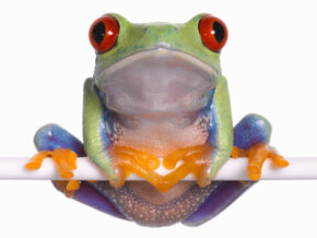 This red eyed frog (Agalychnis callidryas) has large, bulging eyes near the top of its head.