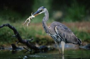 A great blue heron eating a frog