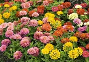 Zinnias add a pop of color to a garden.