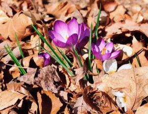 Crocus bulbs will flower after they have established their root system.