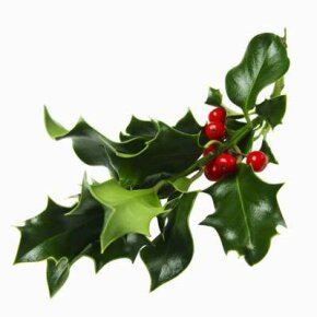 Only female holly produces berries.