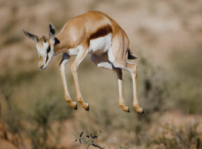 Arrogant antics? Some think stotting is a way for gazelles to taunt their pursuers. See more pictures of African animals.
