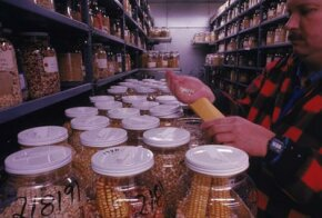 The North Central Regional Plant Introduction Station in Iowa catalogs more than 10,000 varieties of corn.