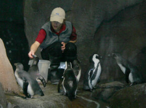 Aquarium staff feed African black-footed penguins. Several beads around the penguins' wings identify them. Males have a blue bead closest to their chest, and females have a pink bead.