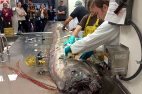 Scientists dissect a giant oarfish in the necropsy suite of NOAA's Southwest Fisheries Science Center. It's easy to make out the animal's crest in the foreground of this photo.