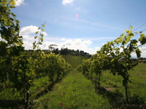 "The Gisborne wine region is also known as the ""Chardonnay capital of New Zealand."" See our collection of win­e pictures."