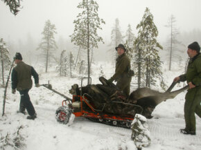 An elk cow shot in Sweden is transported to a road. Big game hunting is facing threats from warming temperatures.