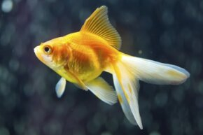 Goldfish are small animals but could they be holding large memories inside their brains?
