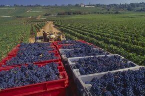 Lingering winters that delay the harvest in Burgundy affect the price of wine from the region