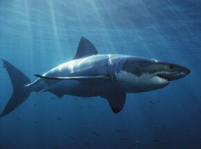 Great white shark: maneater or misunderstood?