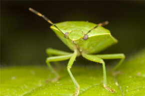 """The green stink bug (Chinavia hilaris) is a member of the order Heteroptera, meaning it's a """"true bug."""""""