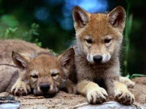 Gray wolves almost became extinct in the United States after people intentionally hunted and killed them. See more wolf pictures.