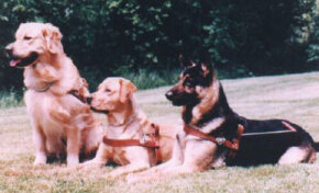Guide dogs are typically golden retrievers, Labrador retrievers or German shepherds.