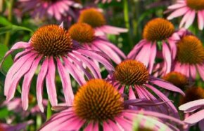 Purple Coneflower's tall stalks make it ideal for a wildflower border.