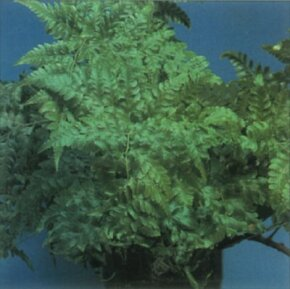 The fronds of hare's foot fern are typically fernlike. See more pictures of ferns.