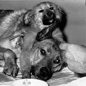 A two-headed dog created by Soviet scientist Dr. Vladimir Demikhov in a transplanting experiment is fed by unidentified laboratory assistants on April 15, 1959.