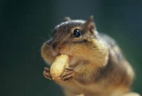 Chipmunks use their expandable cheek pouches to carry large amounts of food back to their nests, where they store it for winter.