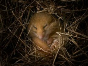 Hazel dormouse hibernating in burrow. See more pictures of mammals.