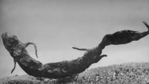 Close-up of a lungfish in a tank of water