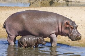 Hippos are magical creatures, but the notion that they produce pink milk might be a bit more complicated (and implausible) than previously suggested.