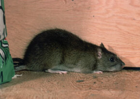 Pests like rats and insects have an uncanny ability to find entry points into your home you may have overlooked.