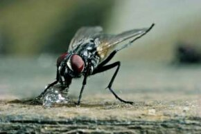 A housefly uses its proboscis to eat a piece of sugar.