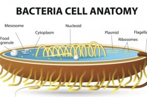 Bacteria lack the nucleus that cells in humans, animals and plants have, which means they're prokaryotic cells.