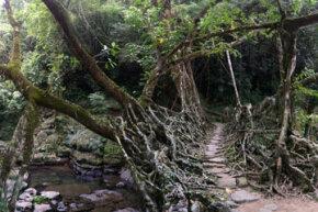A living root bridge crosses a creek in Meghalaya, India.