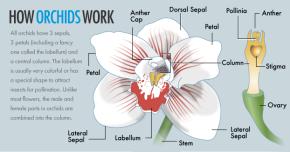 orchid illustrations