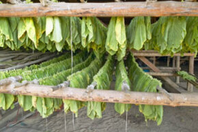 In snus, tobacco leaves are ground and pasteurized, while the leaves in most other tobacco products are left to air-dry to bring out their natural flavor.