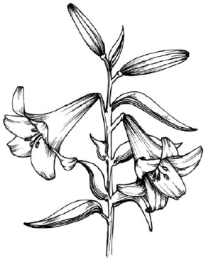 Flower Image Gallery Learn how to draw a lily and other flowers and plants with our step-by-step instructions. See more pictures of flowers.