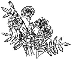 Flower Image Gallery Learn how to draw a marigold with our step-by-step instructions. See more pictures of flowers.