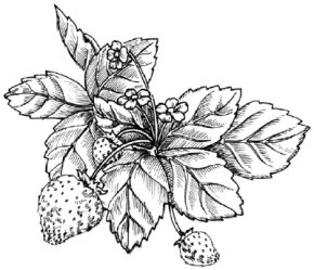 Flower Image Gallery Learn how to draw a strawberry with our easy instructions. See more pictures of flowers.