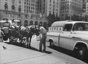 July 1963: A horse that gives tourists rides through Central Park is being fed by an ASPCA and Humane Society worker during a summer heat wave.