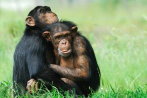 Chimp hugs: just as good as human hugs? See more pictures of primates.