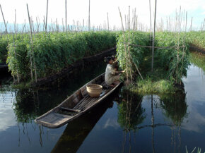 Farmers from Myanmar's Intha tribe pick tomatoes from a floating garden in the famous Inle Lake. These gardens are probably similar to the ones cultivated by the Aztecs on Lake Tenochtitlan.
