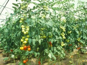 These plants yield tomatoes in a place where they normally wouldn't grow.