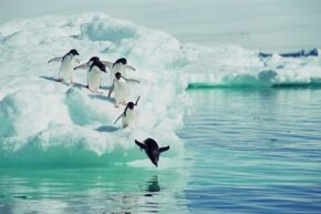 Adelie penguins jumping from iceberg