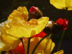 The thin petals of Iceland poppies, a See more pictures of annual flowers.