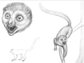 Sketches by Bogdan Bocianowski show what Darwinius masillae may have looked like in life.